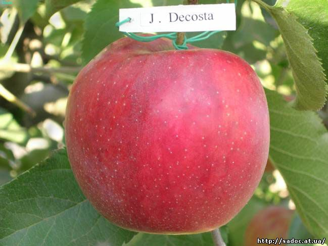 Яблоня Джанаголд Декоста