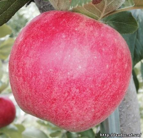 Яблоня Сансе