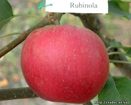 Яблоня Рубинола