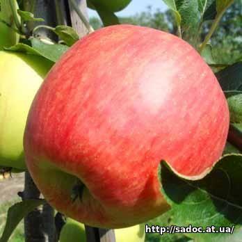 Яблоня апачи