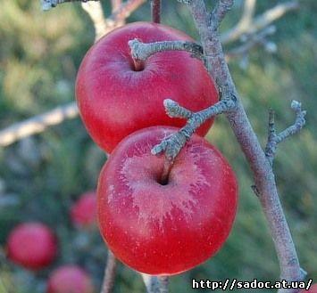 Яблоня Фкутами