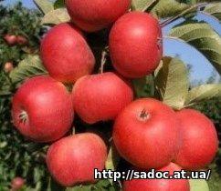 Яблоня Рубин Степ
