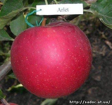 Яблоня Арлет
