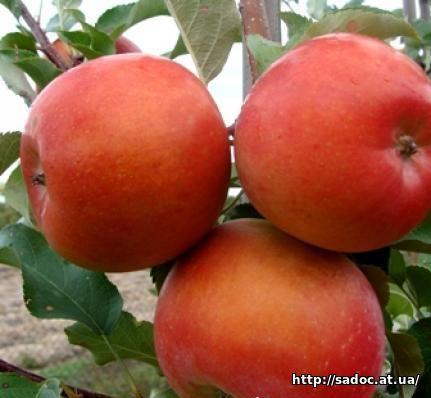 Яблоня Ятака