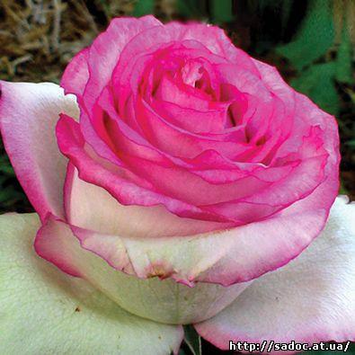 Розы дольче вита купить бесплатная доставка цветов на свадьбу