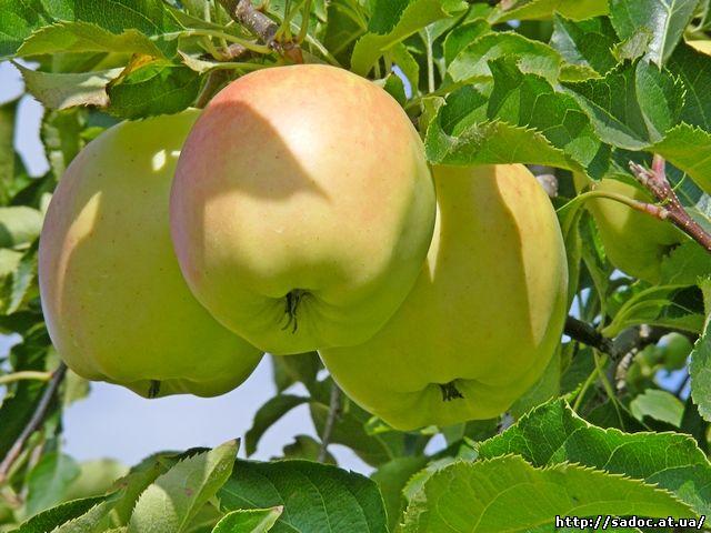 Яблоня Пепинка