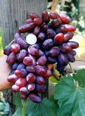виноград изюминка описание сорта фото отзывы