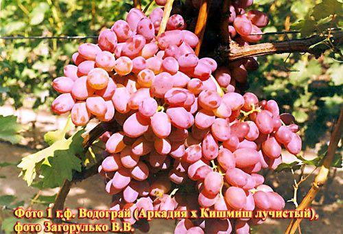 виноград викинг описание сорта фото отзывы